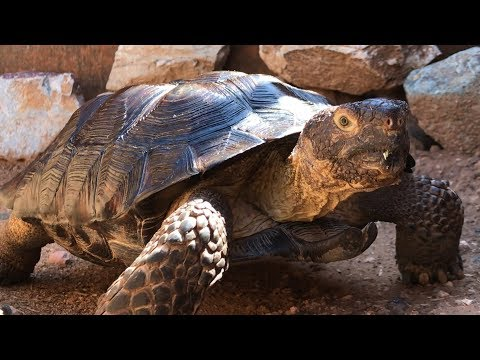 Cisco Gets A Home Through AZGFD's Desert Tortoise Adoption Program