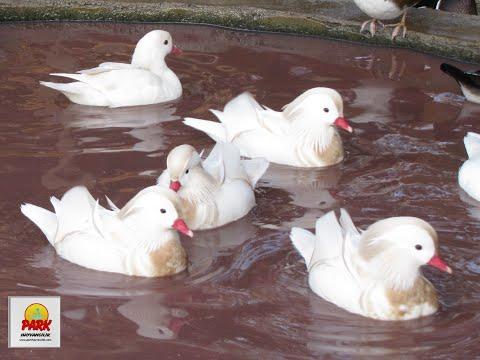 çiftçi Tv Su Kuşları