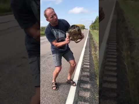 SAVING A SNAPPIING TURTLE ON THE ROAD !