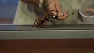 Meet the World's Largest Tarantula!