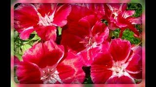 видео Кларкия изящная. Выращивание из семян в саду