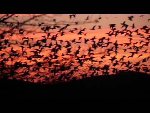 Waterfowl Migration in Middle Creek, PA, Feb. 29, 2016