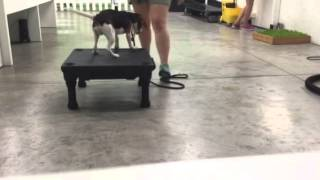 Heart Breaker The Beagle Puppy - Boarding And Training Miami, Florida