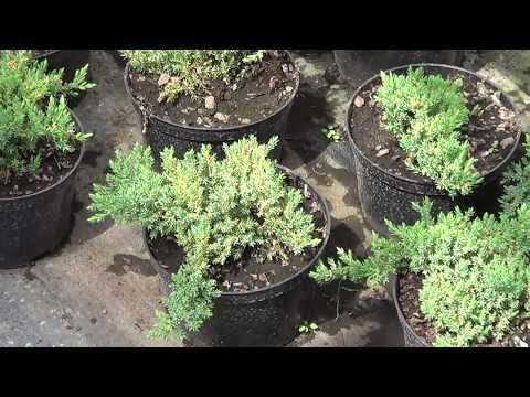 газон из хвойников. Стелющиеся сорта можжевельников.Садовый дизайн