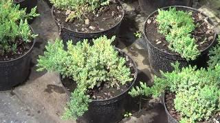 видео Можжевельники в ландшафтном дизайне