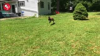 Belgian Malinois Adorable 5 month old Maligator slow mow chase