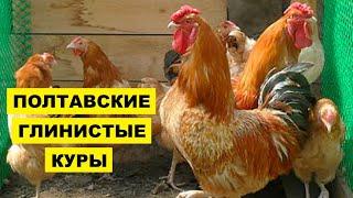 Разведение Полтавской глинистой породы кур как бизнес идея | Птицеводство Куры Полтавские глинистые