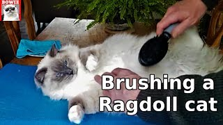 Brushing a Ragdoll cat's fur. What to do to prevent shedding?