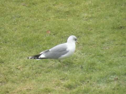 The Herring Gull Dance | Otterndorf - 4th March 2010