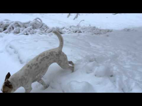 Australian Shepherd/Jack Russell Terrier Mix playing in fresh snow