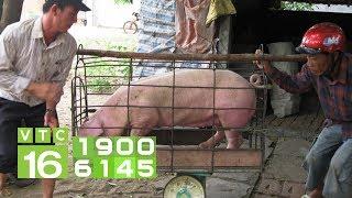 Giá lợn có thể vượt mốc 70.000 đồng/kg | VTC16