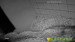 【東山動植物園公式】ツシマヤマネコ 恋の季節 ツシマヤマネコ 検索動画 21