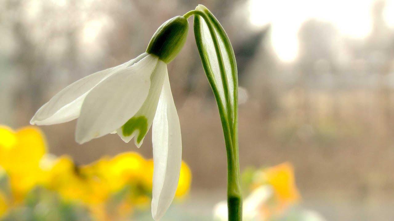 Etwas Neues genug Schneeglöckchen (Galanthus) - Pflanzen, Standort und Pflege @RK_16