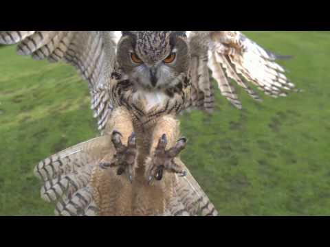 Photron SA2 Camera - Eagle Owl in Flight