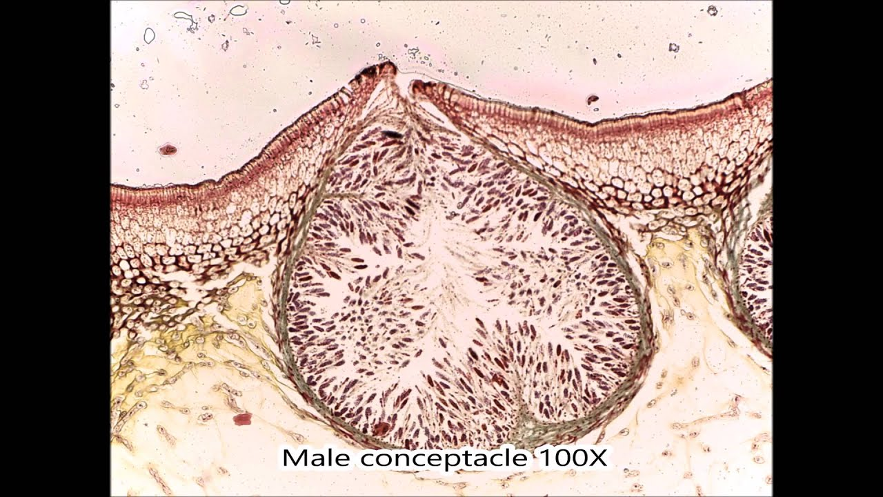 Seaweed Reproductive Structures - YouTube