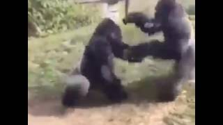 Monkey fights at zoo but then has make up sex VIEWER DISCRETION