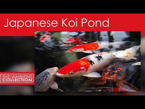 Japanese Koi Pond - From The Fish DVD Koi Pond