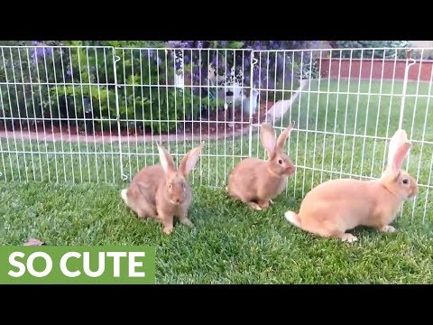 Five baby bunnies befriend a cat