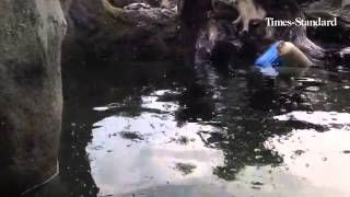 The river otters at Sequoia Park Zoo in Eureka play and swim energetically in anticipation of feedin