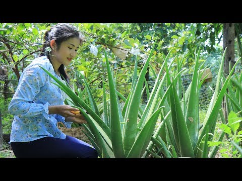 The Biggest Aloe Vera Plant in The Garden - How to make Aloe Vera juice - By countryside life TV.