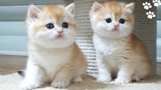 Golden British Shorthair | Cute And Adorable Cat Compilation |  Cutest Baby British kittens