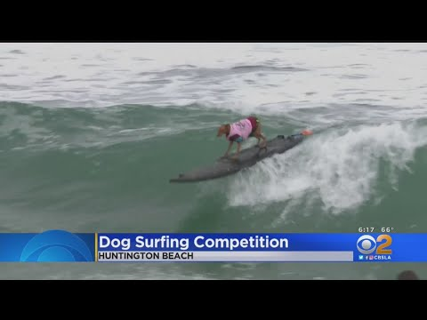 Hang 10, Dawg! Annual Dog Surf Competition Held In Huntington Beach