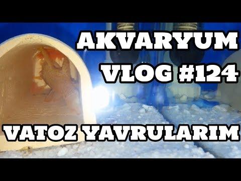Akvaryum Vlog #124 (Vatoz Yavrularım)