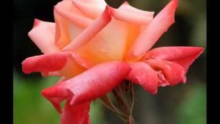 Rosas..ALBERTO CORTEZ