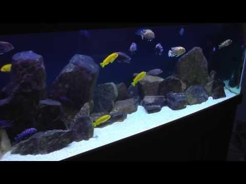 African Cichlid Aquarium - Mbuna - African Cichlid Hub