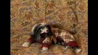 Атлас Породы - Китайская Хохлатая Собака