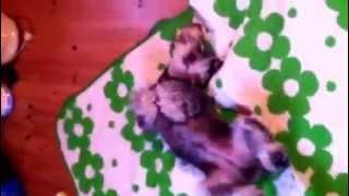Miniature Schnauzer Likes Dancing Every Morning