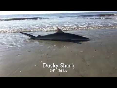 BIG SHARK IS A FIGHTER! Surf Fishing In Hilton Head Island!