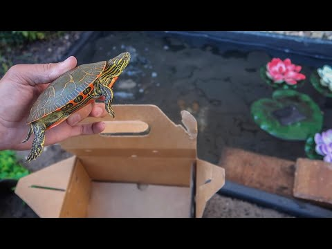 ULTRA COLORFUL TURTLE for My MINI POND!!!