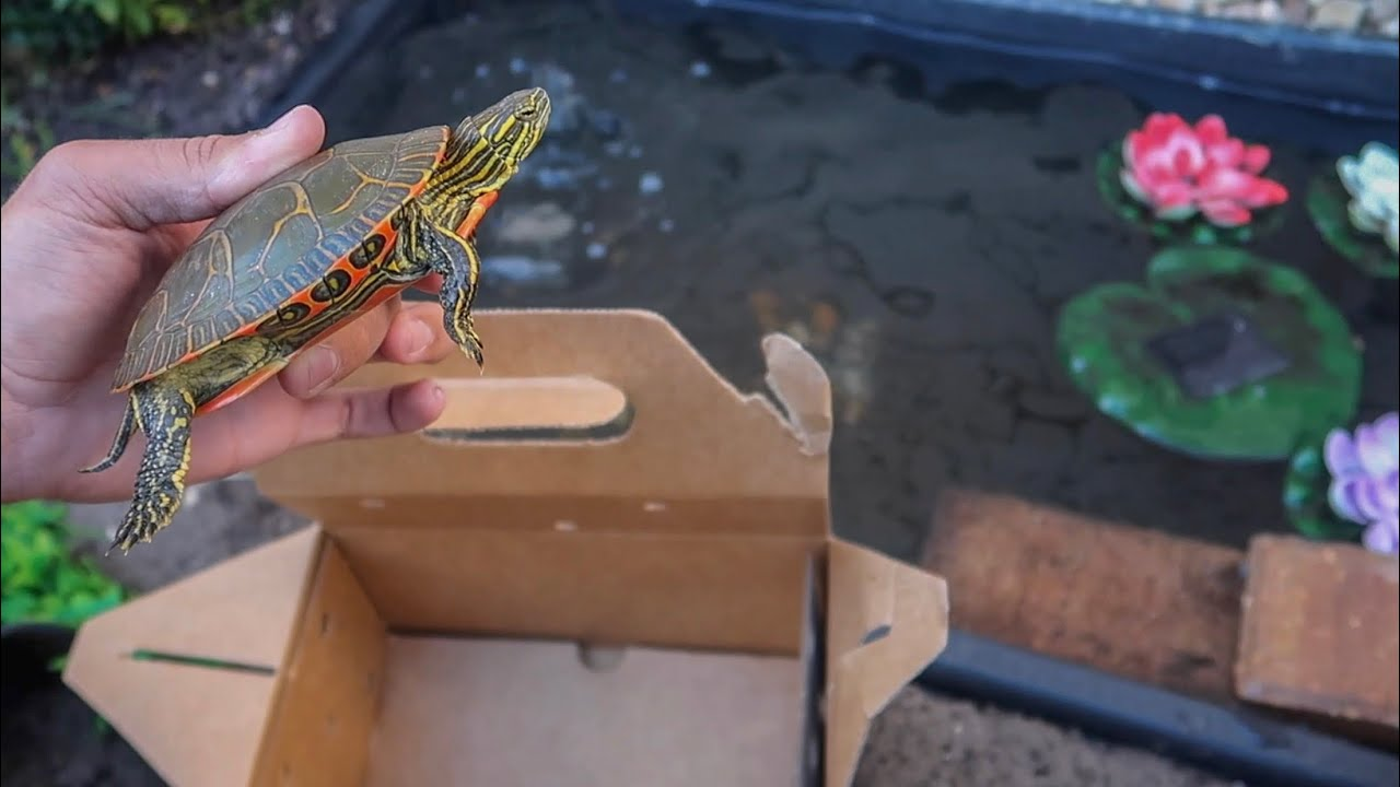 ultra-colorful-turtle-for-my-mini-pond