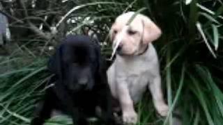 Labrador Puppies - Yellow, Black And Chocolate America's Favorite Dog Www.texaslabradorbreeder.com