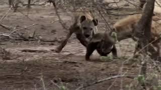 Медоед против леопарда и гиены