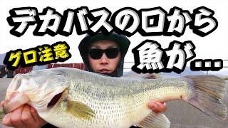 【閲覧注意】 巨大な腹のバスから食われたばかりの魚が出てきた...!