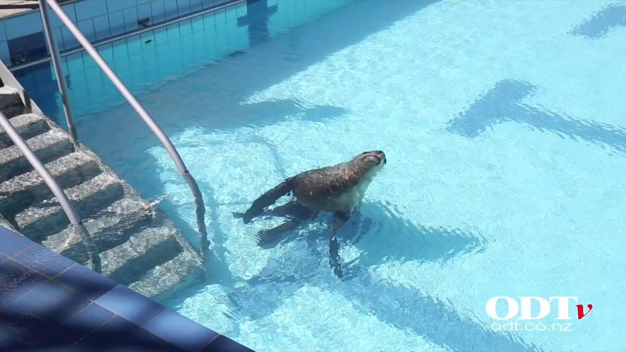 Sea Lion Takes A Dip At Dunedin Pool Youtube