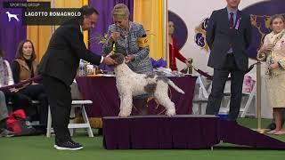 Lagotto Romagnolo   Breed Judging 2020