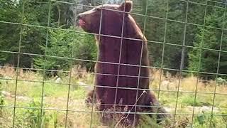 Фильм о бурых медведях