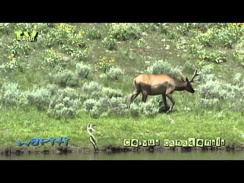 Wapiti in Yellowstone National Park - elk - cervus canadensis #07