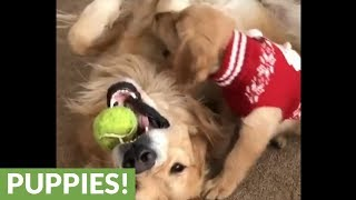 Father & son Golden Retrievers wrestle over tennis ball