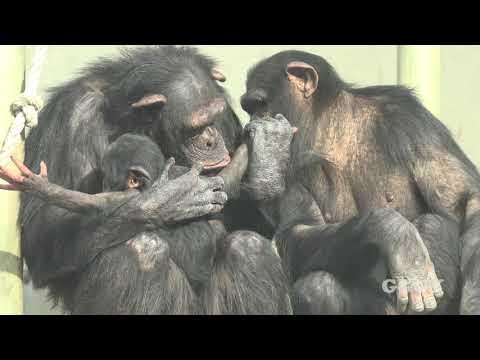 서울대공원 아기 침팬지 '아자'( 3 Months chimp 'AJA' )