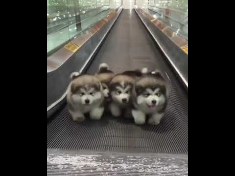 None - Four Puppies On Moving Walkway Set To 'Stayin Alive' Is What You Need Today
