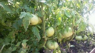 видео Когда собирать помидоры, как  собирать томаты