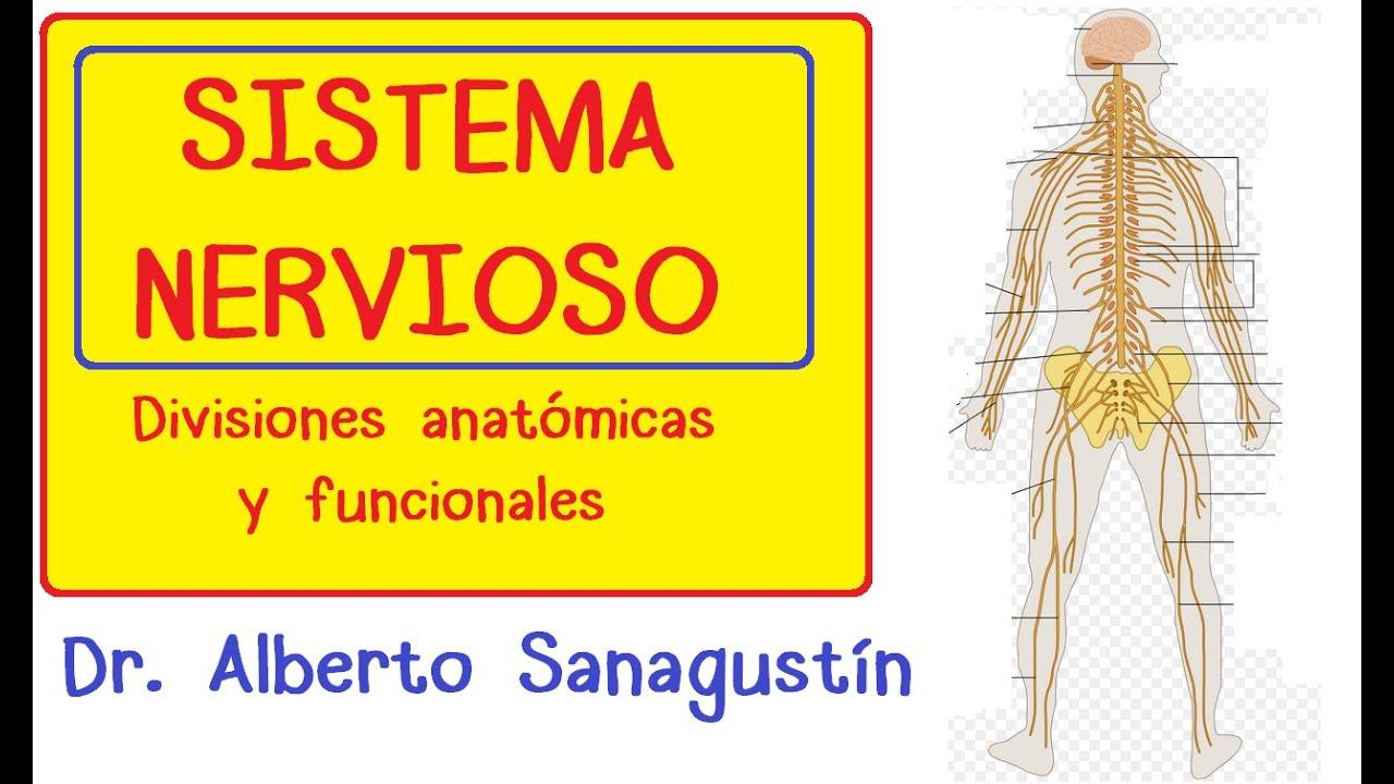 SISTEMA NERVIOSO explicado FÁCIL: anatomía y fisiología - YouTube