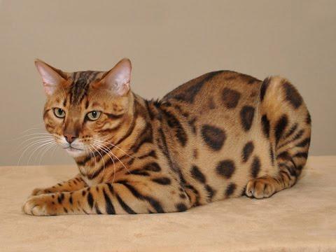 Про бенгальского кота. Небольшой отчёт - YouTube