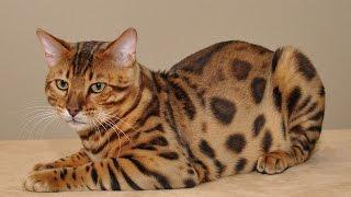 Бенгальская кошка - леопард в миниатюре