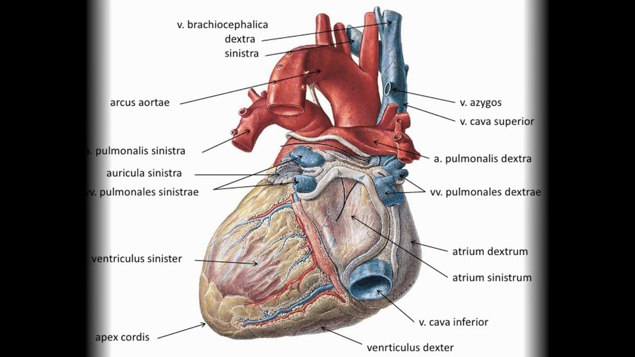 anatomie herz mensch - YouTube
