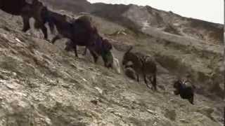 Korean documentary on the caravan trade in Tibetan ponies for Chinese tea